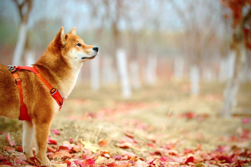 Shiba Inu on a dog walk